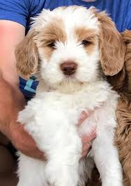 Small Non Shedding Dogs Australia by Daisy Hill Australian Labradoodles We Specialize In Allergy