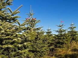 Types Of Christmas Trees To Plant by Which Christmas Tree Types U0026 Varieties To Choose Saga