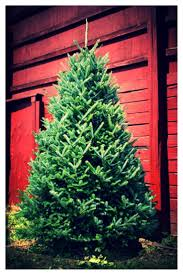 Canaan Fir Christmas Tree Needle Retention by Top 25 Ideas About Christmas Trees On Pinterest Christmas Trees