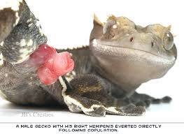 Crested Gecko Shedding Help by Jb U0027s Crested Gecko Info