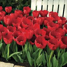 tulip bulbs thompson