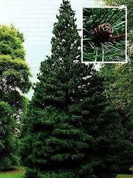 pin parasol du japon sciadopitys verticillata le jardin du pic
