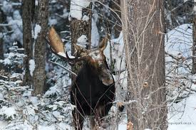 Bull Moose Shedding Antlers by Moose Antlers Algonquin Provincial Park The Friends Of