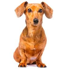 Non Shedding Dogs Small To Medium by Non Shedding Dogs Types Of Dogs That Don U0027t Shed Info