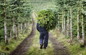 Nordmann Fir Christmas Tree Seedlings by How To Pick The Perfect Christmas Tree Daily Mail Online