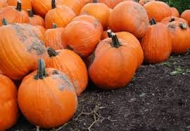 Best Pumpkin Patch Snohomish County by 9 Best Pumpkin Patches To Explore This Fall Seattle Refined