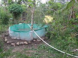Backyard Fish Farming Tilapia Image Of Tambuka Backyard Fish Farming Aquaculture Pinterest Backyard Landscape Design Tilapia Farm For Sale Turn Your Backyard Into A Raise At Home Inspirational Architecturenice Genetic Research Turning Into Major Global Commodity Photo With Wonderful In The Aquaponic Update Steps Back Now Picture On Rice Capvating Aquaponics Design And Ideas House Backyards Bright Olympus Digital Camera Traing Learn From Anywhere Pictures