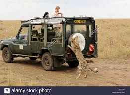 100 Safari Truck Cheetah Stock Photos Cheetah Stock