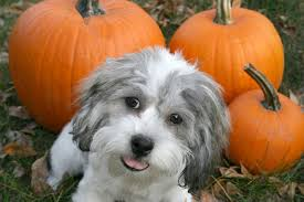 Pumpkin Puree For Dog Constipation by Diy Pumpkin Dog Treats Delish Fall Treats For Your Dog U2022 Life