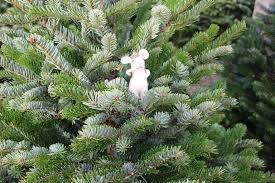 Nordmann Fir Christmas Trees Wholesale by Our Christmas Tree Lot Opened On The Same Day As Our First Snow