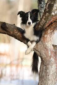 do blue heeler border collies shed best 25 border collie shedding ideas on border collie