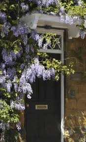 planting wisteria in a pot how to grow wistera thompson