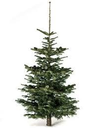 Nordmann Fir Christmas Tree Seedlings by Trees Echo Hill Farms