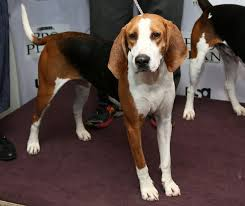 Do Treeing Walker Coonhounds Shed by What Is The Difference Between A Beagle U0026 A Coonhound Dog Care