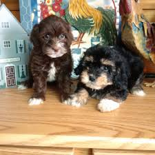 Non Shedding Dog Breeds Kid Friendly by Available Puppies Little Happy Tails Toy Sized Family Friendly