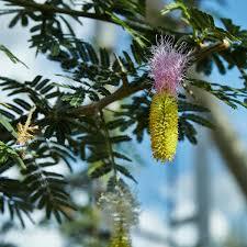 Christmas Tree Species by Dichrostachys Cinerea Wikipedia