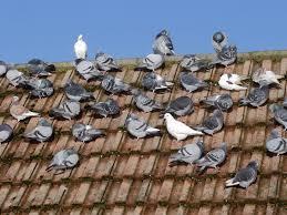 pigeon problems and pigeon bird barrier