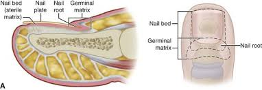 disorders of nails and skin clinical gate