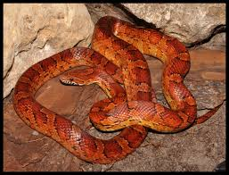 Corn Snake Shedding Time by Beautiful Red Rat Snake Corn Snake Snakes Pinterest Corn
