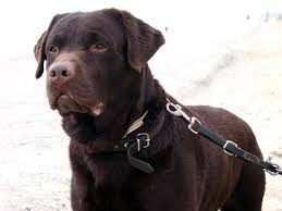 Chesapeake Bay Retriever Vs Lab Shedding by Labrador Retriever Wikipedia