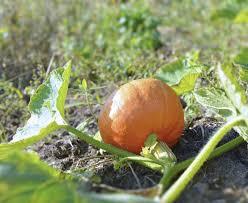 Flower Mound Pumpkin Patch Christmas Tree by Best Fertilizer For Pumpkins U2013 How And When To Fertilize Pumpkins
