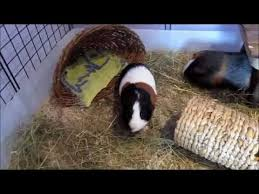 Pine Bedding For Guinea Pigs by Testing Out Aspen Bedding For The Guinea Pigs C U0026c Cage Youtube