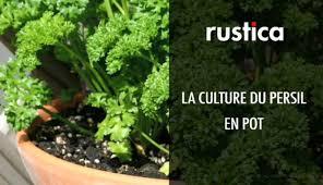 la culture du persil en pot
