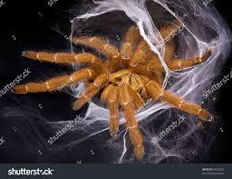 Do Tarantulas Shed Their Fangs by Obt Tarantula Crawling Out Her Web Stock Photo 53928622 Shutterstock