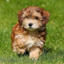 Dogs That Shed Minimally by Havanese Puppies K Cava Doodle The Cutest Puppies Ever K