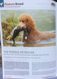 Small Non Shedding Dogs Australia by Louter Creek Red Hunting Poodles