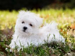 small dogs breeds non shedding dog pet photos gallery 4936zgy3mo