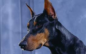 Do Miniature Doberman Pinschers Shed by Service Dog Breeds For Those With Allergies