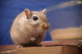 Can Guinea Pigs Eat Salted Pumpkin Seeds by Foods That Are Safe For Your Gerbil Pets4homes