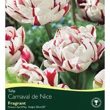bulbs tulip carnaval de bulbs for sale mail order