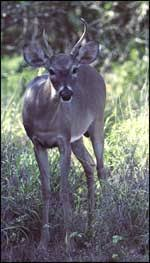 When Do Whitetails Shed Their Antlers by Tpwd White Tailed Deer U2013 Introducing Mammals To Young Naturalists