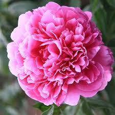 pivoine herbacee en pot pivoine herbacee himatsuri rn les roses anciennes andre
