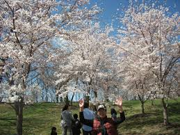 Cherry Blossom Festival at Branch Brook Park This April 2015
