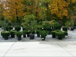 Landscaping with Yew and a Focal Species Landscaping ideas