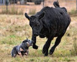 what do blue heeler dogs look like dogs pets