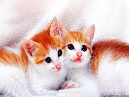 kitty cat desktop wallpapers animals backgrounds kitty cat www