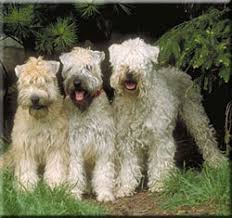 soft coated wheaten terrier breed information and pictures
