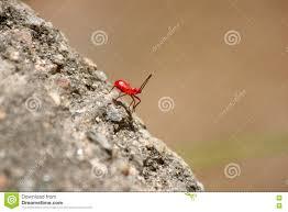 kleine rote ameisen stockbild bild wildnis fauna