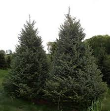 Fraser Christmas Tree Care by Mount Rogers Area Christmas Tree Growers Association Whitetop
