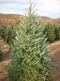 Fraser Fir Christmas Trees by About Our Christmas Trees Evergreen Valley Christmas Tree Farm