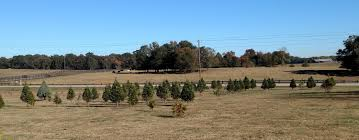 Leyland Cypress Christmas Tree Smell by Trees U2014 Shine U0026 Lee U0027s Christmas Trees