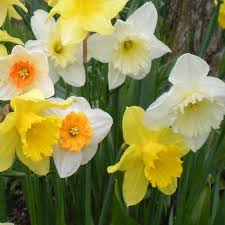 mixed daffodil bulbs best buy at ireland s garden shop