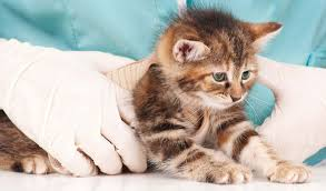 signs of worms in cats cat worms symptoms and deworming information for cats and kittens