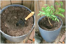 planting wisteria in a pot 17 apart on ehow how to grow wisteria in a planter