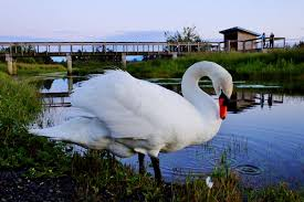 Campbell River Community Mourns The Passing Of Friendly Estuary Swan ... Jayco Swan Camper Trailer Official Video Youtube Researchers In Singapore Deploy Robot Swans To Test Water Quality Casey Ware Vase 13 X 8 Cm Burgundy Ceramic Treats And Two On Golden Stock Image Image Of Reflected 73290927 Car Wrecker Valley Perth Cash For Cars Removal Suburbs Schwans Trucking Fleet Gets A Makeover Business Wire Migrating Tundra Privsation Waste Management A French Takeover Home Food Delivery Is Hot But Has Done It 65 Years Brockway Trucks Message Board View Topic Pic The The Legacy Campbell River Community Mourns Passing Friendly Estuary Swan