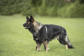 All Dog Breeds That Dont Shed by Do You Know Numerous Types Of Strong And Sturdy Shepherd Dogs